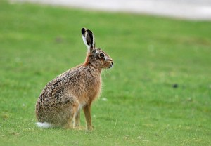 hare-ardnave